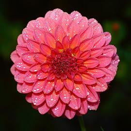 Pompon rose by Gérard CHATENET - Flowers Single Flower