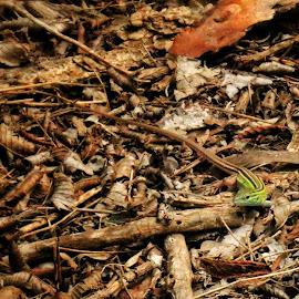 by Ashley Sharber - Animals Amphibians ( lizard, nature, green, texas, amphibian, brown )