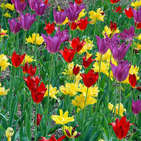 tulip garden by Roger Becker - Flowers Flower Gardens ( red, purple, nature, tulip, yellow, garden, flower )