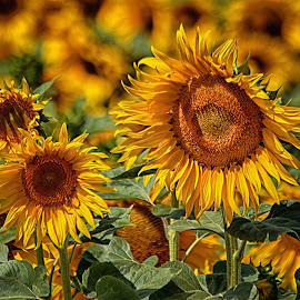 sunflower by Josef Hasík - Flowers Flowers in the Wild ( green, sunflower, brown, yellow, group )