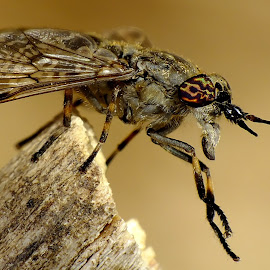 Notch Horned Cleg Fly by Pat Somers - Animals Insects & Spiders (  )