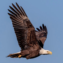 Bald Eagle in flight by Debbie Quick - Animals Birds ( raptor, debbie quick, nature, maryland, outdoor photography, nature up close, nature lovers, bald eagle, natures best shots, debs creative images, national geographic, wildlife photography, conowingo dam, birds of prey, outdoors, animal photography, bird photography, bird, eagle, darlington, animal, wild, nature photography, wildlife )