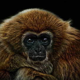 Watching & Waiting by Kelly Murdoch - Animals Other ( ztam photography, waiting, isle of wight, monkey, animal, eyes )