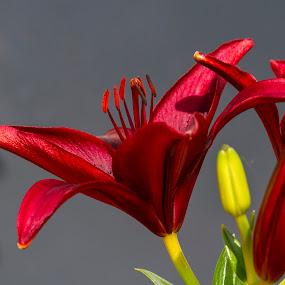 Lily by Rajeev Krishnan - Flowers Single Flower ( lily, flower photo, flowers, flower photography, flower, lilly,  )