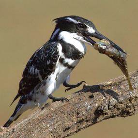 by Lian van den Heever - Animals Birds ( pied kingfisher )