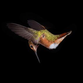 Reconnaissance by Briand Sanderson - Animals Birds ( bird, motion capture, wings, hummingbird,  )