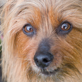 Ben by Dagmar Fialová - Animals - Dogs Portraits ( australian_silky_terrier, silky_terrier, dog portrait, dog, eyes )
