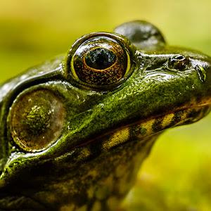 leopard-frog-P1850626-900.jpg
