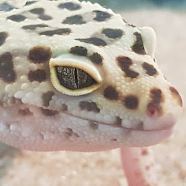 Leopard lizard  by Hayley Moortele - Novices Only Wildlife ( #eyes, #leopardlizard, #blueeyes, #nature, #spots, #upclose )
