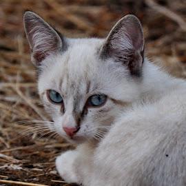 Pitchouli. by Lorraine Bettex - Animals - Cats Portraits