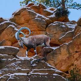 Ibex at Cliff's Edge by David Hammond - Digital Art Animals ( animals, mountains, nature, digital art, cliff, outdoors, scene, ibex, composite,  )