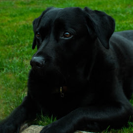 Relax! by Meeta Thakur - Animals - Dogs Portraits ( enjoyment, grass, labrador retriever, photography )