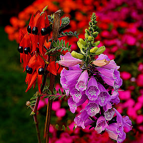 Pink and Red flowers..Swainsona formosa and Sturts Desert Pea by Kamal Mallick - Flowers Flowers in the Wild