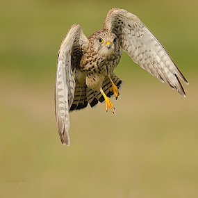 The Common Kestrel. by Srikanth Iyengar - Animals Birds