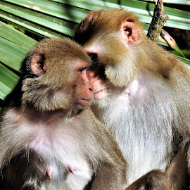 Loving couple by Mary Gallo - Animals Other Mammals ( coupld, nature, monkeys, rhesus, caring, wildlife, loving, monkey, mammal, animal )
