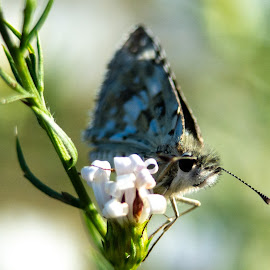 Fuzzy Butterfly by Thaddaeus Smith - Animals Insects & Spiders ( nikon, macro, color, butterfly, fuzzy )
