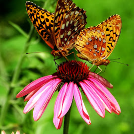 Two for Lunch by Paulette King - Animals Insects & Spiders ( nature, butterflies, fritilliary butterflies, flowers, garden )