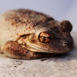 by Asya Atanasova - Animals Amphibians ( frog, brown )