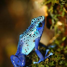 Azurée en extension by Gérard CHATENET - Animals Amphibians