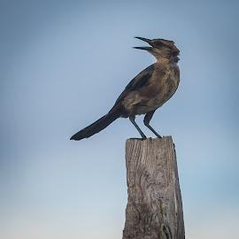 Caw by John Smith - Animals Birds ( bird, forgotten coast, florida, gulf, bird popsicle, coast )