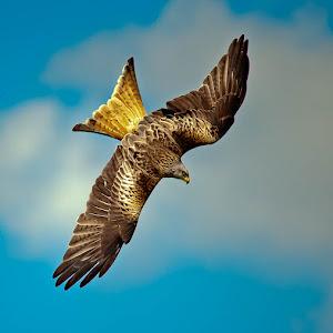 Red Kite by Victor Harris 3023.jpg