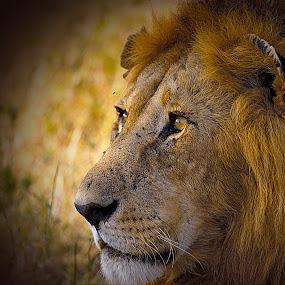 King of the jungle by Johann Fouche - Animals Lions, Tigers & Big Cats ( big cat, lion, jungle king, serengeti, lions,  )
