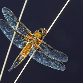 NATURE'S JEWELLERY by Robin Procter - Animals Insects & Spiders ( colourful, jewellery, wings, nature up close, dragonfly )