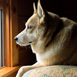Sasha by Window Light by Becky Kempf - Animals - Dogs Portraits ( window, window light, husky, dog, mutt )