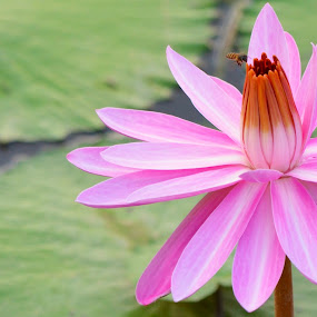 Lilly by Kelvin Đào - Nature Up Close Gardens & Produce ( water, bee, green, pink, pond, lilly, pwcflowergarden-dq )