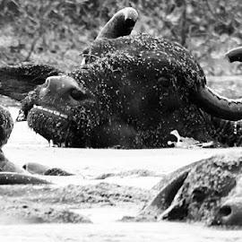 Stairing buffalo  by Lakshan Senevirathna - Black & White Animals ( buffalo, cattle )