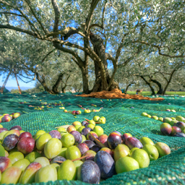 Utla Olive by Dalibor Jud - Food & Drink Fruits & Vegetables ( nature, otok, colors, croatia, krk, utla, hrvatska, masline, olives, olive, island )