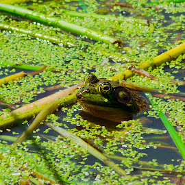 Happy Frog by Mike Williams - Animals Amphibians ( frog, happy, green, amphibian, summer, pond,  )