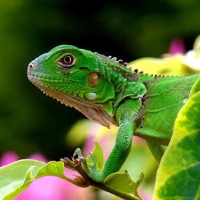 by Carlos Castro - Animals Reptiles