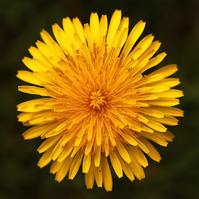 Dandelion  by Kelly Williams - Nature Up Close Flowers - 2011-2013 ( plant, macro, dandelion, weed, yellow, flower )