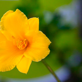 Yellow flower by Jake Tazelaar - Flowers Single Flower ( flower photography, yellow, single flower, summer, flower,  )