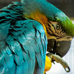 Blue-and-yellow Macaw by Mohamed Nasser - Animals Birds ( canon, zoo, south america, blue-and-yellow macaw, macaw, animal )