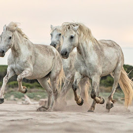 Camargue mares 1 by Helen Matten - Animals Horses ( galloping, mares, wild, horses, camargue, white, beach, the, along )