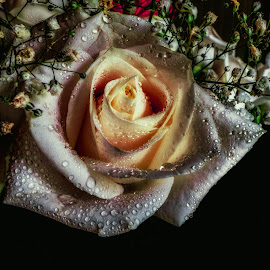 White Rose of Hope by Dave Walters - Artistic Objects Still Life ( white rose, nature, wedding, roses, flowers, lumix fz2500,  )