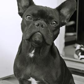 by Ulrica Kraft - Animals - Dogs Portraits