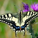 Swallowtail; Macaón