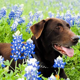 Capture and Cherish by Erin Spillman - Animals - Dogs Portraits ( beauty, bluebonnets, springtime, spring, chocolate lab )