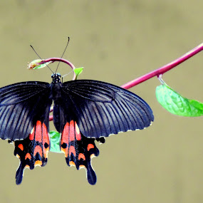 by Aritra Sur - Animals Insects & Spiders ( butterfly, nature, insect, close up )