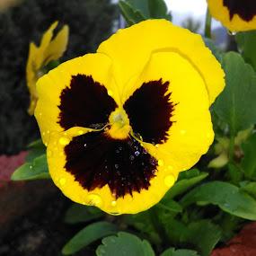 Menekşe by Recep Cenbek - Flowers Single Flower ( menekşe, tek çiçek, çiçek )