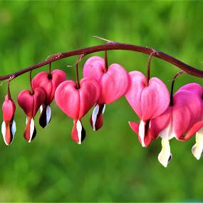 Bleeding hearts by Carol Leynard - Flowers Flower Gardens ( flowers, pink, multiple, flower garden, bleeding hearts, stem,  )
