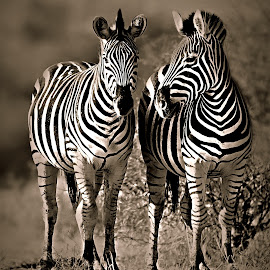 Sister-talk by Pieter J de Villiers - Black & White Animals