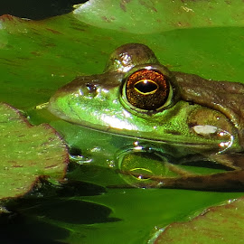 by Mike Dinkens - Animals Amphibians