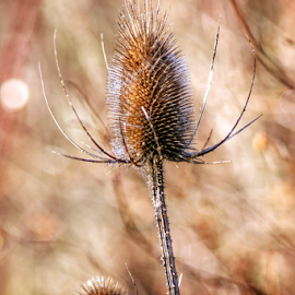 Thistle in winter  by Todd Reynolds - Nature Up Close Other plants