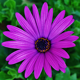 Purple Flower by Sarah Harding - Novices Only Flowers & Plants ( colour, macro, nature, novices only, flower )