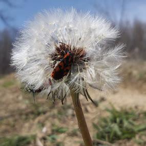 Глухарче by Georgi Kolev - Nature Up Close Other plants ( слънце., треви., глухарче., ден., дървета. )