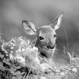 Fawn in black and white by Debbie Quick - Black & White Animals ( deer, debbie quick, nature, outdoor photography, white-tailed deer, nature lovers, nature up close, natures best shots, new york, national geographic, outdoor magazine, wildlife photography, outdoors, animal photography, animal, dutchess county, fawn, wild, hudson valley, nature photography, poughkeepsie, wildlife )